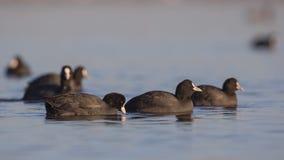 Grupo de fochas comunes que vagan Fotografía de archivo