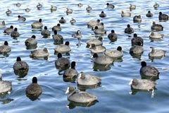 Grupo de fochas en el ` Averno del lago d Fotos de archivo libres de regalías
