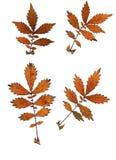 Grupo de folhas de outono isoladas no fundo branco fotos de stock