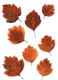 Grupo de folhas de outono isoladas no fundo branco imagem de stock royalty free