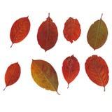 Grupo de folhas do chokeberry Imagem de Stock Royalty Free