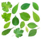 Grupo de folhas verdes bonitas da mola isoladas no branco Fotografia de Stock Royalty Free