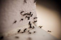 Grupo de formigas de carpinteiro na parede imagem de stock
