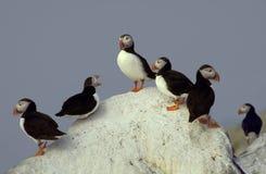 Grupo de frailecillos atlánticos encaramados en una roca Imágenes de archivo libres de regalías