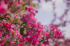 Grupo de Frangipani cor-de-rosa Imagens de Stock
