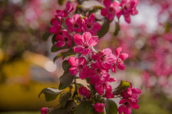 Grupo de Frangipani cor-de-rosa Foto de Stock Royalty Free