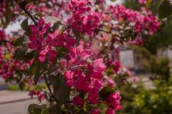 Grupo de Frangipani cor-de-rosa Imagens de Stock Royalty Free