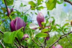 Grupo de Frangipani cor-de-rosa isolado no branco Fotos de Stock Royalty Free