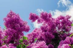 Grupo de Frangipani cor-de-rosa isolado no branco Imagem de Stock