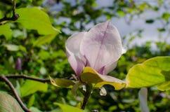Grupo de Frangipani cor-de-rosa isolado no branco Imagens de Stock