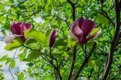Grupo de Frangipani rosado aislado en blanco Fotografía de archivo libre de regalías