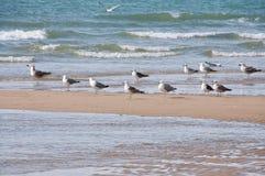 Grupo de gaivotas Imagem de Stock Royalty Free