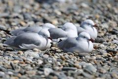 Grupo de gaivotas Foto de Stock Royalty Free
