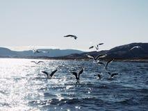 Grupo de gaivotas com fome que mergulham e que lutam por peixes inoperantes imagens de stock royalty free