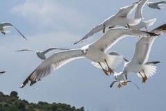 Grupo de gaivotas em voo, uma que olha a câmera Imagens de Stock Royalty Free