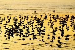 Grupo de gaivotas no por do sol. Imagens de Stock Royalty Free