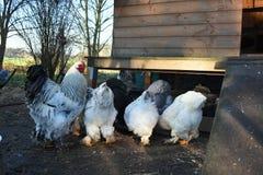 Grupo de galinha de Brahma Fotos de Stock Royalty Free