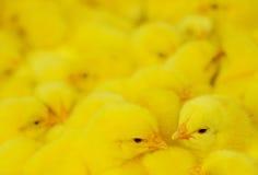 Grupo de galinha do bebê Fotografia de Stock