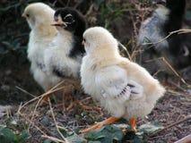 Grupo de galinha pequena Imagem de Stock Royalty Free