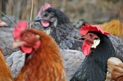 Grupo de galinhas imagem de stock royalty free