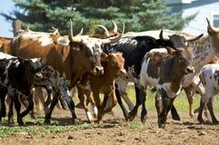 Grupo de ganado de carga Fotografía de archivo
