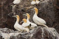 Grupo de gannet en las rocas en la isla baja de la roca Fotos de archivo