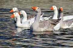 Grupo de gansos Fotografía de archivo
