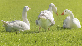 Grupo de gansos blancos que descansan sobre la hierba Foto de archivo libre de regalías