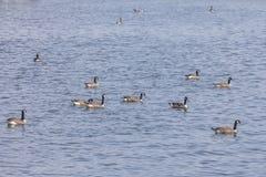 Grupo de gansos de Canadá foto de stock