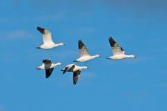 Grupo de gansos de neve Fotos de Stock