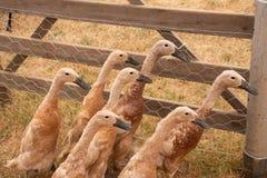 Grupo de gansos do bebê na pena Imagem de Stock Royalty Free