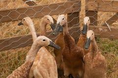 Grupo de gansos marrons do bebê na pena Foto de Stock Royalty Free