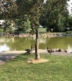 Grupo de gansos no parque imagem de stock royalty free