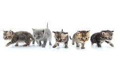 Grupo de gatinhos que andam para junto. Tiro do estúdio. Isolado Fotografia de Stock