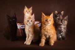 Grupo de gatitos hermosos mullidos del mapache de Maine de diversos colores delante del fondo marrón imágenes de archivo libres de regalías