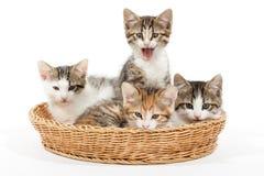 Grupo de gatitos jovenes en la cesta Imagen de archivo