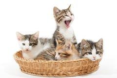 Grupo de gatitos jovenes en la cesta Fotografía de archivo libre de regalías