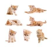 Grupo de gato vermelho isolado Fotografia de Stock Royalty Free