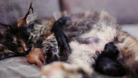 Grupo de gatos y de gatito Maine Coon Poco rojo metrajes