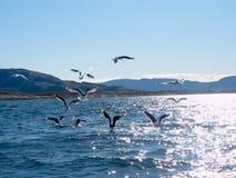 Grupo de gaviotas hambrientas que se zambullen y que luchan para los pescados muertos Imagen de archivo libre de regalías