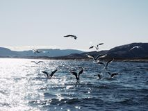 Grupo de gaviotas hambrientas que se zambullen y que luchan para los pescados muertos Imágenes de archivo libres de regalías