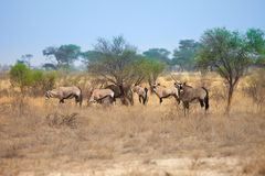 Grupo de gazela do Oryx no deserto de Kalahari, Botswana, África do Sul Imagens de Stock Royalty Free