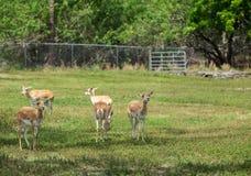 Grupo de gazelas no parque imagem de stock