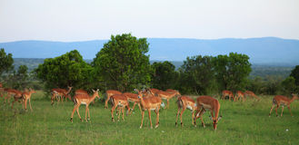 Grupo de Gazelles de Grant Imagenes de archivo