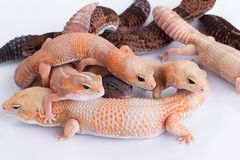 Grupo de geckos Fat-tailed fotografia de stock