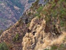 Grupo de Gelada, gelada de Theropithecus, en una cuesta en Siemen Mountain National Park, Etiop?a foto de archivo