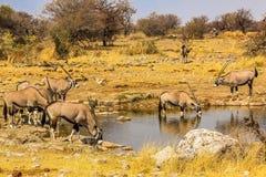 Grupo de Gemsbok que bebe em uma poça no Etosha Imagens de Stock Royalty Free