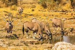 Grupo de Gemsbok que bebe en un charco en el Etosha Foto de archivo