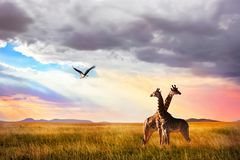 Grupo de girafas e de cegonha de marabu no parque nacional de Serengeti Fundo do por do sol imagens de stock