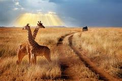 Grupo de girafas no parque nacional de Serengeti em um fundo do por do sol com raios de luz solar Safari africano imagens de stock